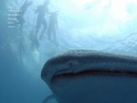 sharkdivingphilippines.com